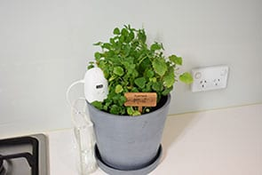 PlantMaid growing mint