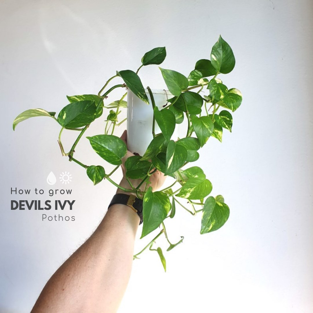Devils Ivy with hand