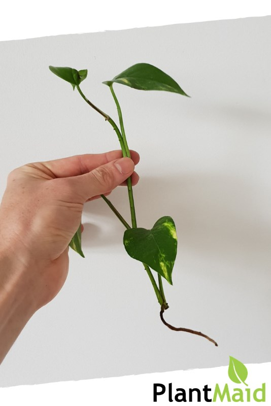 How to grow devils ivy