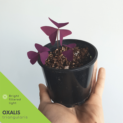 Oxalis Triangularis in pot