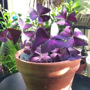 Oxalis in Terracotta pot