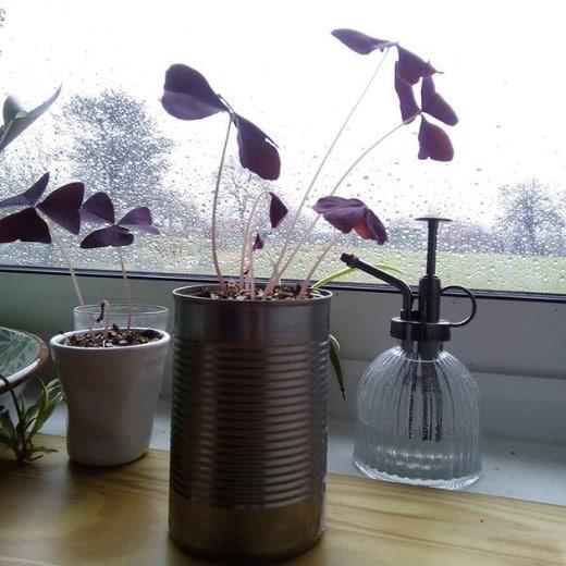 Oxalis in the rain