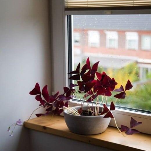 Oxalis next to window