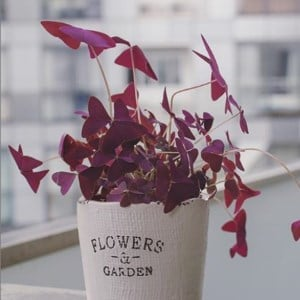 Oxalis on balcony
