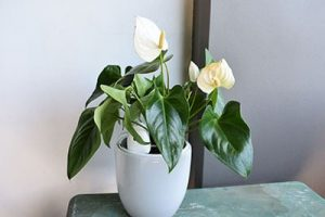 Automatically watering a Peace Lily