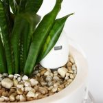 Snake plant with plantmaid