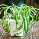 Spiderplant automatic watering