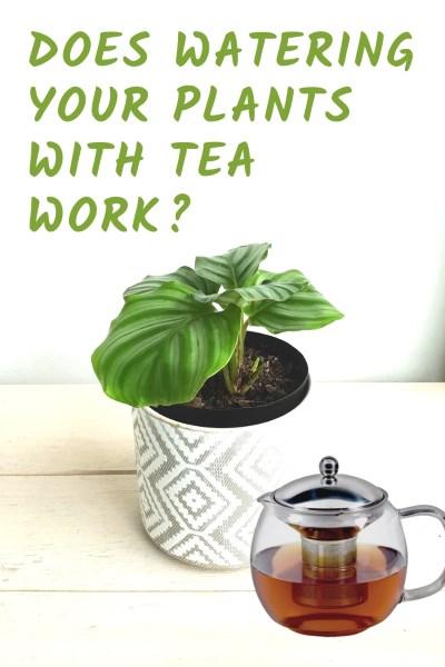 Tea and plants
