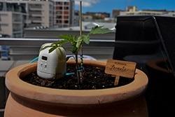 PlantMaid watering tomatoes on balcony