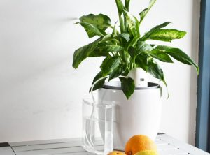 PlantMaid automatically watering a Dieffenbachia
