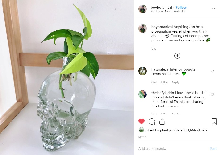 Devilys ivy growing in crystal skull