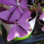 Oxalis with burnt leaves