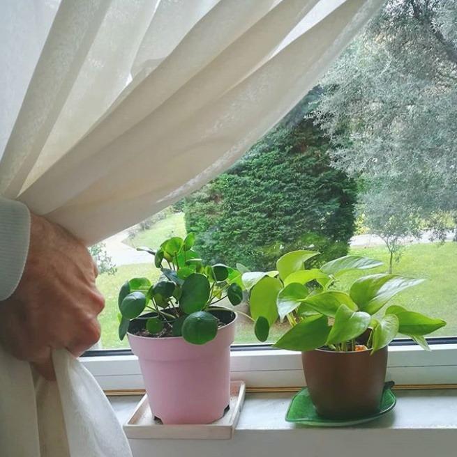 Pilea behind curtain