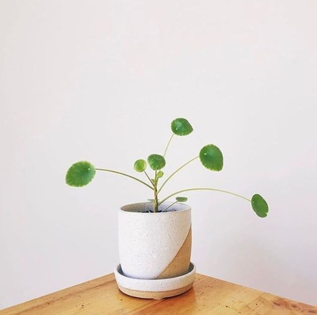 Pilea Peperomioides in ceramic pot