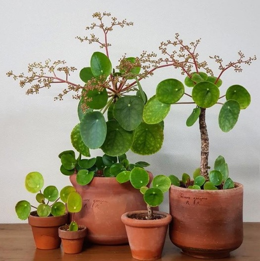 Pilea with flowers